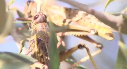 locusts israel